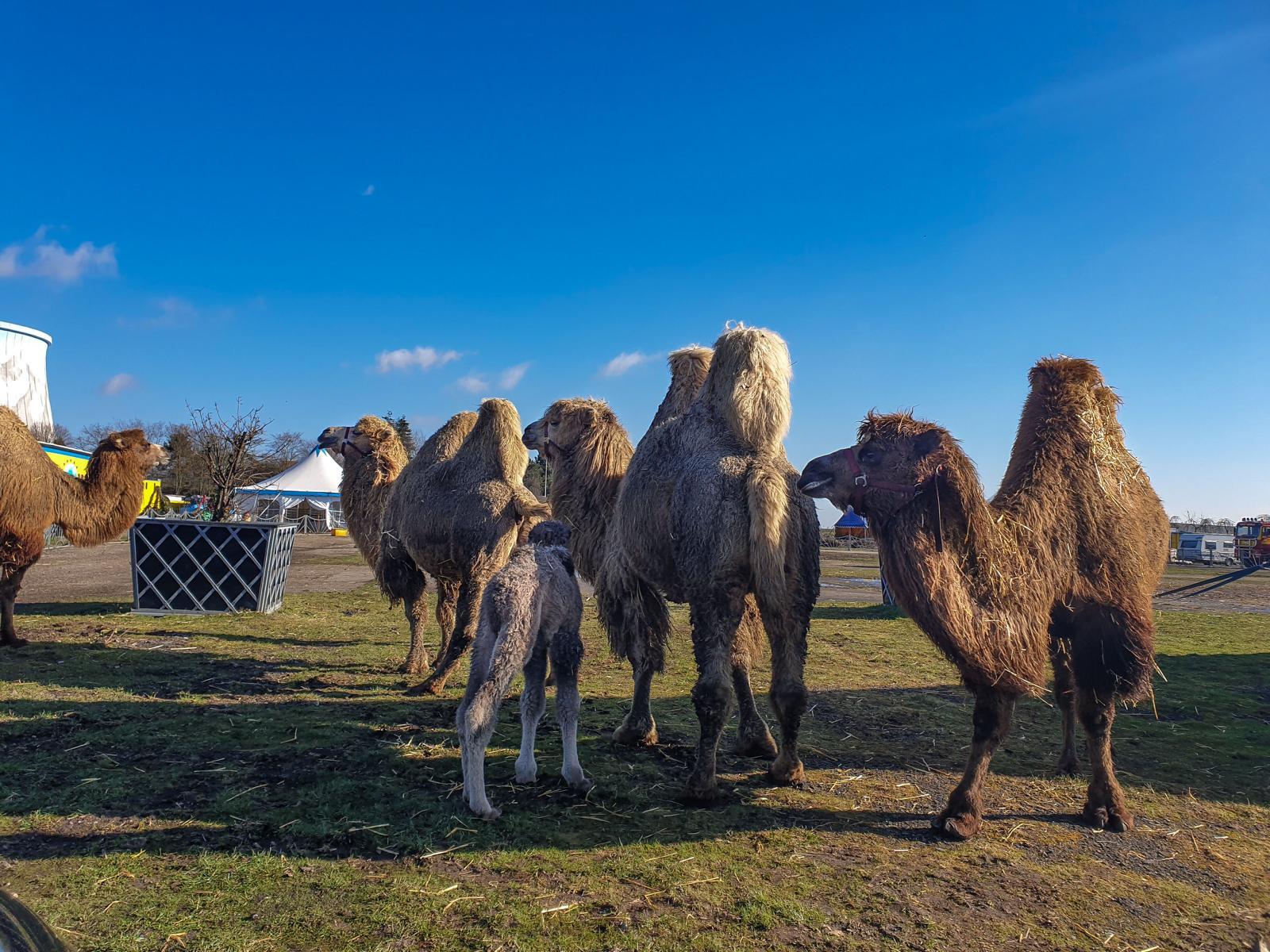 """Wunderland Kalkar -""""Vorhang auf, Manege frei"""" mal anders – Drive In Safariland von CIRCUS MAXIMUM öffnete bei strahlendem Sonnenschein"""
